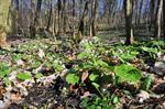 White Butterbur (Petasites albus)
